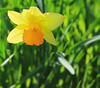 Daffodil (witajny) Tags: flowers daffodils nature naturepictures colorful color brooklynbotanicgarden newyork flower macro bright plant