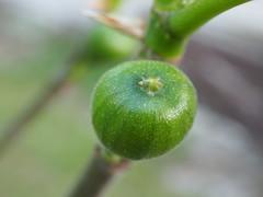 Figue (Benzaiten31) Tags: figue fruit macro printemps