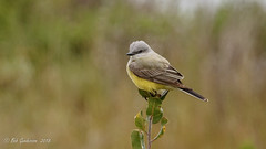 Western Kingbird (Bob Gunderson) Tags: birds california coyotepointcountypark flycatchers northerncalifornia peninsula sanmateocounty tyrannusverticalis tyrantflycatchers westernkingbird