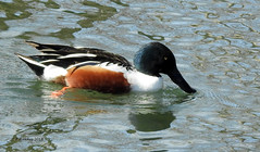 Northern Shoveler (pamfromcalgary) Tags: bird waterfowl northernshoveler bowriver mallardpoint