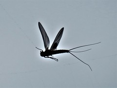 Flying Bug  IMG_7532 (PRS North Star) Tags: bugs insects flyingbugs flyinginsects spiderwebs suddendeath