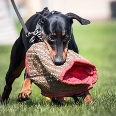 Snatcher (zola.kovacsh) Tags: outdoor animal pet dog ipo schutzhund dobermann doberman pinscher