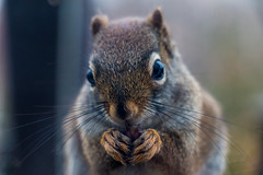 Fuzzy Fingers (langdon10) Tags: canada canon70d closeup novascotia squirrel outdoors weeklythemes happyanimals