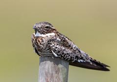 Night Hawk (Ed Sivon) Tags: america canon nature wildlife wild western bird texas galveston