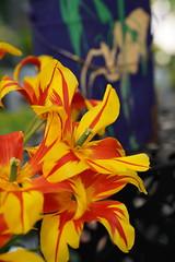 DSC09168 (PeterazziMuilman) Tags: keukenhof keukenhof2018 tulipsgarden flowergarden lisse colorful bulbs romanceatkeukenhof sony sonya7r3 alpha7rm3 a7r3 ilce7rm3 ilcea7r3 sel2470gm sonyfe2470f28gm sonyfe282470gm