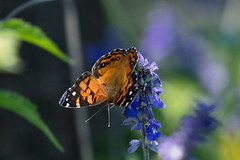American lady (jim_mcculloch) Tags: 7949 butterflies lepidoptera flowers wildflowers