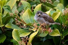 Baby sparrow (stevehimages) Tags: steve steveh stevehimages bird nature wowzers warden staffordshire higgins 2018 grandpas den grandpasden hedge sparrow fledgling baby