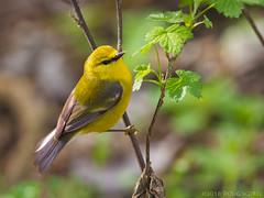 Hang On! (Doug Scobel) Tags: bluewinged warbler vermivora cyanoptera magee marsh bird wildlife nature woodwarbler