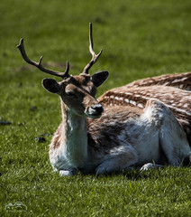 Fallow Deer (John R Woodward Photography) Tags: fallowdeer wildlife nature mothernature canon canondslr canoneos canonllenses canon5dmarkiv llenses antler