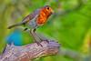 Curious Robin (primosavage) Tags: robin bird garden walled croft castle