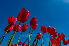 Looking Up (amarilloladi) Tags: oregon woodshoetulipfestival woodburn bluesky tulips woodenshoetulipfarm red lookingup 7dwf crazytuesdaytheme