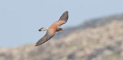 Lesser Kestrel, Rhodes, Lindos (snapp3r) Tags: lindos greece rhodes lesserkestrel