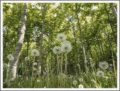 ralphs-wood-1140223-180518 (Peadingle) Tags: dandelions wood grass trees ralphs brent knoll somerset