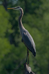 20180517-IMGP1255 (JerrysPhotographs) Tags: bird birds greatblueheron heron oklahoma sequoyahnationalwildliferefuge wildlife