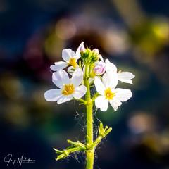 Swamp flower (Jaap Mechielsen) Tags: arnhem thenetherlands closeup gelderland nederland europe moeras bloem stadsboerderijdekorenmaat europa guelders swamp nl