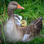 Mother goose and her child (2) thumbnail