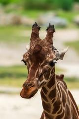 DSC_1313-2.jpg (martijn de gruiter) Tags: somalischegiraffe netgiraffe nikond810 blijdorpzoo giraffacamelopardalisreticulata sigma150600mmf5063contemporary giraffe reticulatedgiraffe rotterdam zuidholland nederland nl