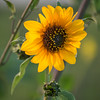 Pollen filled (Middle aged Nikonite) Tags: flower pollen pollination sunflower plant outdoor nature nikon d750 tamron 70300 california yolo bypass bokeh closeup macro depthoffield