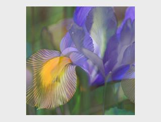 18-5 Beautiful Iris