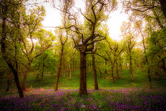 Alone in the Woods (Augmented Reality Images (Getty Contributor)) Tags: woodland leaves spring perthshire landscape flowers nature nisifilters longexposure scotland trees canon kinclavenbluebellwood bluebells forest stanley unitedkingdom gb