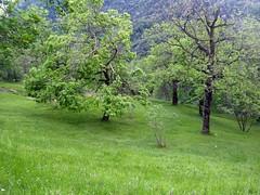 green green grass of home (fotomie2009) Tags: spring primavera field prato trees alberi campagna segno liguria ligure paesaggio scape landscape green italy italia