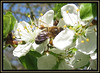Honey Bee On Golden Gage Blossom (M E For Bees (Was Margaret Edge The Bee Girl)) Tags: honeybee apismellifera forage food white flowers flowerscolors insect outdoors sun spring blue sky tree pollen blossom garden yellow stamens