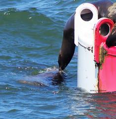 Harbor Seals kissing (Scott Severn) Tags: harbor seal