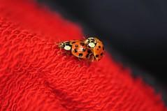 Kahe seljaga loom (anuwintschalek) Tags: nikond90 85mm micronikkor austria wienerneustadt niederösterreich kevad kodu home april 2018 aed garden garten wildlife putukas insekt insect paarung coitus indiscretion indiskretion kaheseljagaloom paarituvad lepatriinu lepatriinud marienkäfer ladybug love frühlingsgefühle kevadsüdames inflagranti armastus liebe lovemaking jasaaguneidpalju vermehreteuch aufklärung seksuaalkasvatus seks sex