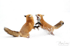 Fox Fight (Megan Lorenz) Tags: redfox fox animal mammal two pair male female nature wildlife wild wildanimals algonquinprovincialpark ontario canada mlorenz meganlorenz