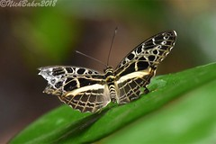 1040-1.jpg (laba laba) Tags: catuna crithea catunacrithea africa cameroon cameroun kribi mabenanga rainforest nature macro closeup butterfly insect