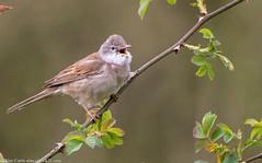 9Q6A0763 (2) (Alinbidford) Tags: alancurtis alinbidford brandonmarsh nature whitethroat wildbirds wildlife