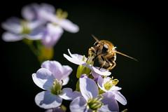 Diptera syrphidae auf Wiesen-Schaumkraut (Cardamine pratensis) (Andrelo2014) Tags: schwebfliege dipterasyrphidae macro cardaminepratensis wiesenschaumkraut sonyalpha77ii a77m2 sigma105mm nature