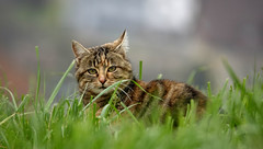 Wild cat (Carandoom) Tags: bokeh wild cat