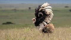 Nairobi-Nationalpark-7447 (ovg2012) Tags: afrikanischerstraus commonostrich kenia kenya nairobi nairobinationalpark safari struthiocamelus