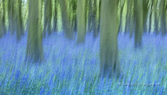Bluebell Impressions (pixellesley) Tags: landscape woodland flowers uk forest spring blooming trees beeches silent tranquil icm action movement texture lesleygooding