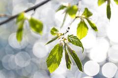 erstes grün (maikepiel) Tags: spring springtime frühling grün green closeup leaf leafs bokeh dof blätter growing wachsen