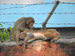 Agra 71 - monkeys (juggadery) Tags: 2015 india uttarpradesh animal urban