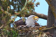 Skinner butte eagle - female (JSB PHOTOGRAPHS) Tags: jsb38512 skinnerbutte eagle eagles nest eugeneoregon nikon d7100 nikon200500mmafsgf56evr 200500mm bird raptor baldeagle tree