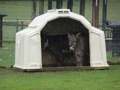 Seeking shelter (stevenbrandist) Tags: stokebruerne farm attraction weather rain cold march 2018 rookeryopenfarm