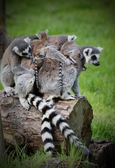 There were 7 on a log and the little one said roll over..... (joannekerry) Tags: ringtailedlemur lemur yorkshirewildlifepark wildlife canon