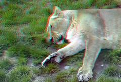 Leeuwin Blijdorp Rotterdam 3D (wim hoppenbrouwers) Tags: leeuwin blijdorp rotterdam 3d anaglyph stereo redcyan zoo lion animal