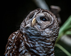 Barred Owl - Brevard Zoo, Melbourne, Florida (mark bochiardy images) Tags: barredowl brevardzoo melbourne florida markbochiardy