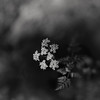 with all the clarity of a dream (Super G) Tags: nikon237 bw blackandwhite flower fern dream