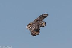 Short-eared Owl (mobull_98) Tags: shortearedowl