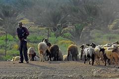 where (nograz) Tags: nograz d7200 israele cisgiordania pastorizia beduino gregge smile