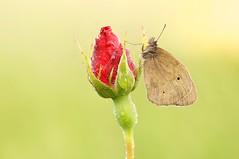 Tears of Sun... (Zbyszek Walkiewicz) Tags: macro sony closeup butterflies butterfly