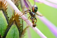 DSC_3205_DxO - Spider and Ant (Berzou) Tags: spider ant araignée fourmi macrodenaturalezza macro macroinsectes macroring nikond7200 nikon105mmf28 nature naturebynikon fantasticnature