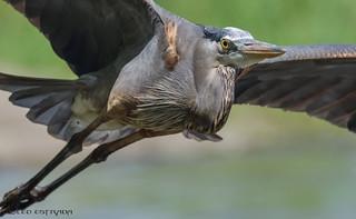 Great Blue Heron closeup.