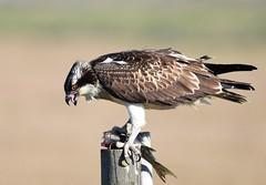 Águia-pesqueira / Osprey (anacm.silva) Tags: águiapesqueira osprey águia ave bird rapina wild wildlife nature natureza naturaleza birds aves pontadaerva portugal pandionhaliaetus ngc coth5