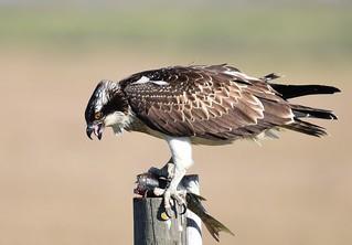 Águia-pesqueira / Osprey